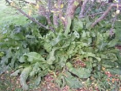 Companion Planting Horseradish as a companion plant around a cherry tree. Great article about companion planting with existing trees. More to links to explore! Hydroponic Gardening, Organic Gardening, Gardening Tips, Growing Tree, Growing Plants, Growing Tomatoes, Tomato Garden, Vegetable Garden, Permaculture