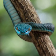 Trimeresurus Insularis. Afraid, or are you a fan of snakes? Photo by: @yensen tan Explore. Share. Inspire: #earthfocus #tagforlikes #FF #beautifulpic #awesome #beautiful
