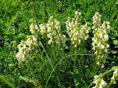 Pedicularis contorta (Coiled Lousewort). Kendall Katwalk Hike.