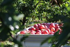 Five Reasons Why Michigan Apples are the Flavor of Fall.