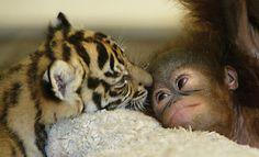orango-tigre