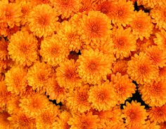 Bright orange mums~