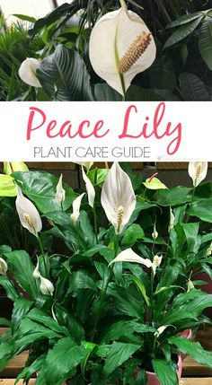 Peace Lily Plant Care Guide: How To Grow A Peace Lily Growing peace lily plants is fun, and rewarding. Read this detailed peace lily plant care guide to learn everything you need to know about caring for them. Peace Lily Plant Care, Peace Plant, Peace Lillies, Easy To Grow Houseplants, Easy House Plants, Plant Guide, House Plant Care, Plantar, Indoor Plants