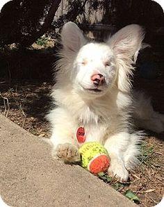 Chesterfield, MO - Welsh Corgi. Meet Possum, a puppy for adoption. http://www.adoptapet.com/pet/16492593-chesterfield-missouri-welsh-corgi
