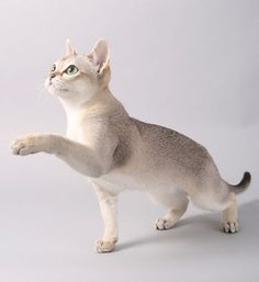 "The Singapura is one of the smallest breeds of cats, noted for its large eyes and ears, brown ticked coat and blunt tail. Reportedly established from three ""drain cats"" imported from Singapore in the 1970s, it was later revealed that the cats were originally sent to Singapore from the US before they were exported back to the US. Investigations by the Cat Fanciers' Association (CFA) concluded no wrongdoing and the Singapura kept its status as a natural breed."