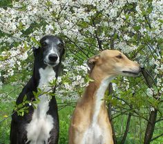 Greyhounds CH Tan Mandor and CH Scarlet Silk | Flickr - Photo Sharing!