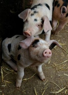 Awww such cute little piglets