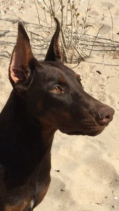 Dog Fact:  The longer a dog's nose, the more effective its internal cooling system.
