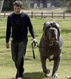 Neapolitan mastiff! :)