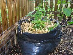 batatas plantadas em saco de lixo