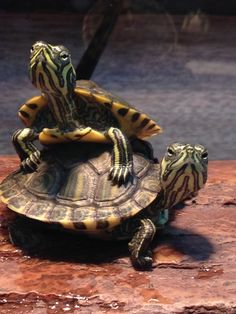 How Long do Tortoises Live? The Life of a Tortoise Land Turtles, Baby Sea Turtles, Cute Turtles, Turtle Care, Pet Turtle, Tortoise Care, Tortoise Turtle, Yellow Bellied Slider, Slider Turtle