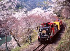 嵯峨野トロッコ列車 train along sakura blossom ( flower pink spring )