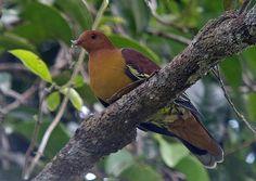 Cinnamon-Headed Green Pigeon (Treron fulvicollis)  wokoti