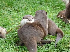 Otters Are Each Other's Chinrests