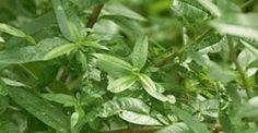 ΑΔΥΝΑΤΙΣΤΕ ΣΕ ΧΡΟΝΟ ΡΕΚΟΡ! Αυτό είναι το μαγικό βότανο Kai, Simple Minds, Superfoods, Herbalism, Plant Leaves, Remedies, Health Fitness, Herbs, Vegetables
