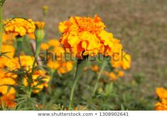 Marigold flower or Gada/Genda ful is a common garden flower in Bangladesh Pink Backdrop, Marigold Flower, Mexican Embroidery, Leaf Crafts, Paper Wallpaper, Watercolor Wedding, New Pictures, Royalty Free Photos, Agriculture