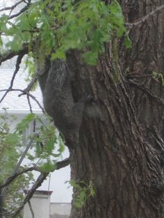 Rain, Rain, Go Away… a Squirrel clings to the lee side of the tree during a torrential downpour...