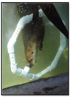 Otter enrichment