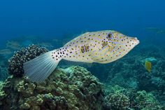 Scrawled Filefish (loulu) | Flickr - Photo Sharing!