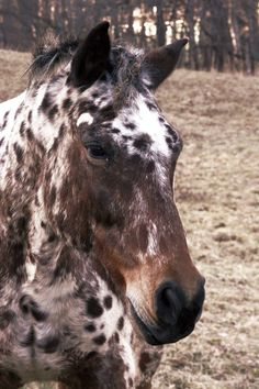 Identifying Different Coat Patterns of the Appaloosa Horse, article by Christina Mendoza.