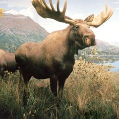 """""""So this Moose was a six pointer..."""""""
