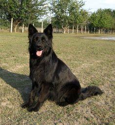 Long Hair Black Shepherd breeders in usa   German Shepherd Puppies Blog » Breed Info