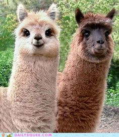 I want more alpacas in my life, especially ones as cute as these.