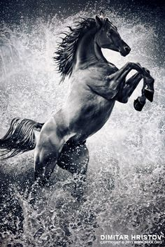 The Black Stallion – Arabian horse reared up by Dimitar Hristov (54ka)