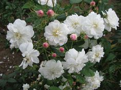 Francine Austin. I absolutely love this rose! I had it climbing around an 8 foot pole. In spring it bloomed and looked like a beautiful white Christmas tree. The leaves are beautifully shaped, narrow and with a point, dark green. This rose perfumes the air with a delicate scent.