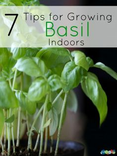 7 Tips for Growing Basil Indoors