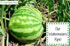 Growing Watermelons in Our Garden Outdoor Plants, Garden Plants, Outdoor Gardens, Herb Garden, Watermelon Plant, How To Grow Watermelon, Farm Gardens, Small Gardens, Growing Melons