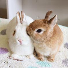 * オレ様ナナ様(笑)  #bunny #rabbit  #animal  #pets #bunnystagram #instapets #rabbitstagram #instarabbit  #動物 #うさぎ #ネザーランドドワーフ #netherlanddwarf #ブロークンオレンジ  #うなっぴ #ななたん #うなぴ #なーたん #ななち #なぎ助 #なな様 #canonEOSM2  #リッペウサギモデル