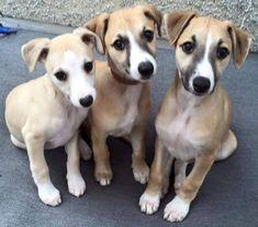whippet trio