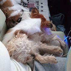 ☆ ☆ ▽・ω・▽ 遊び疲れた??(笑) 重なりすぎやろ😂😂😂 可愛すぎる…  good night☆。.:*・゜ * * ☆ #愛犬#多頭飼い#夏#川#はしゃぎすぎて#撃沈#爆睡#川の字#最高#可愛い#親バカ万歳#美容#健康#カジュアル#ママ#スマイル#癒し#ほっこり #instagramphoto#dog#pic#Instagram#dogstagram#puppy#Love#family#friend#Smile#InstagramJapan