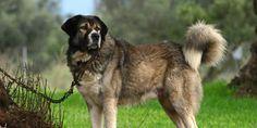 ΚΡΗΤΗ-channel: ΕΛΛΗΝΙΚΟΣ ΠΟΙΜΕΝΙΚΟΣ: Ο μοναδικός σκύλος που παλεύ...