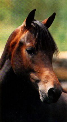 Classic head of a Morgan horse - good width between the ears and eyes, refined mouth, straight to slightly dished profile, large expressive eyes, shapely ears. Called 'the artist's horse' for a reason.