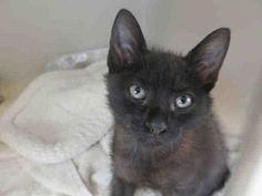 10/4/17.   Domestic Mediumhair Kitten for adoption in Orange, California - MAX