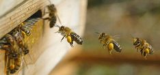 Official Website of Mid-State Beekeepers Association, Educate beekeepers. Honey bee colony management for beginner & advanced beekeeper. Increase public knowledge on honey bee crisis. I Love Bees, Birds And The Bees, Honey Bee Life Cycle, Beekeeping For Beginners, Raising Bees, Bees And Wasps, Bee Art, Photos Voyages, Busy Bee