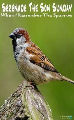 When I Remember The Sparrow . . . . #SerenadetheSonSunday #Music #Praise #Worship #Hope #Healing #Faith