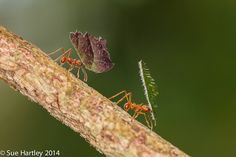 Leafcutter Ants by Sue Hartley on 500px