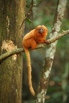 A Golden Lion Tamarin. These tamerin's are endangered and threatened by illegal logging, poaching, mining, urbanization and infrastructure development and the introduction of alien species.