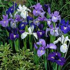 Dutch Irish White/Blue (1x15 bulbs = £0.50) Plant in half-shade Plant in full sun Excellent cut flower Spacing 10cm Planting Plant approx 8cm deep and 12cm apart.
