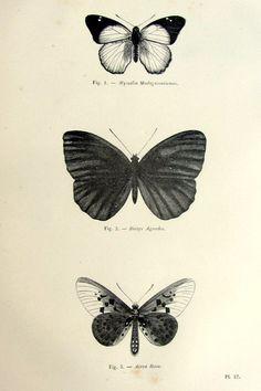Vintage francese butterfly print, antico 1860 lepidotteri incisione originale, papillon piastra illustrazione, animale di zoologia insetti per