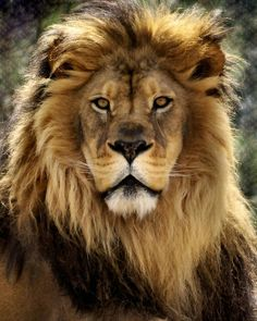Lion Print featuring the photograph Thy Kingdom Come by Linda Mishler