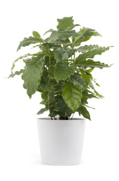 Coffee plants make terrific houseplants. In their native habitat, coffee plants grow up to 15 feet or more, so pruning a coffee plant is integral when growing them indoors. Find out how to prune a coffee plant in this article. Indoor Garden, Indoor Plants, Container Gardening, Gardening Tips, Container Plants, Snake Plant Care, Coffee Tumblr, Coffee Meme, Or Noir
