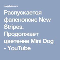 Распускается фаленопсис New Stripes. Продолжает цветение Mini Dog - YouTube