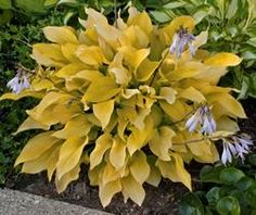 Little Miss Sunshine - Color: Yellow Size: 12 inches tall by 20 inches wide. Type: Small Gold Hosta The leaves of Hosta 'Little Miss Sunshine' emerge chartreuse and intensify to bright yellow as the season progresses. Hosta 'Little Miss Sunshine' will tolerate some sun which will enhance the yellow color. Light purple flowers appear mid-summer and are held on a beautiful reddish scape that contrast nicely with the foliage.