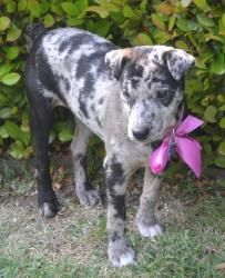 Skippy is an adoptable Catahoula Leopard Dog Dog in Van Alstyne, TX. Skippy is a female Catahoula Leopard Dog (cattle dog) mix born December 2012. This adorable puppy is extremely smart. Skippy is alw...