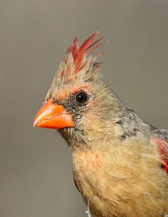 Northern Cardinal (female) - S. Weller Ln - Near Bisbee, Cochese County, AZ [#3834]