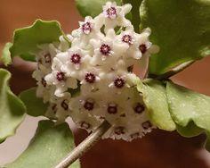 Ikke bare ute i hagen det blomstrer. Hoya er i full gang. Planters, Fruit, Flowers, The Fruit, Planter Boxes, Plant, Flower Pots, Royal Icing Flowers, Flower
